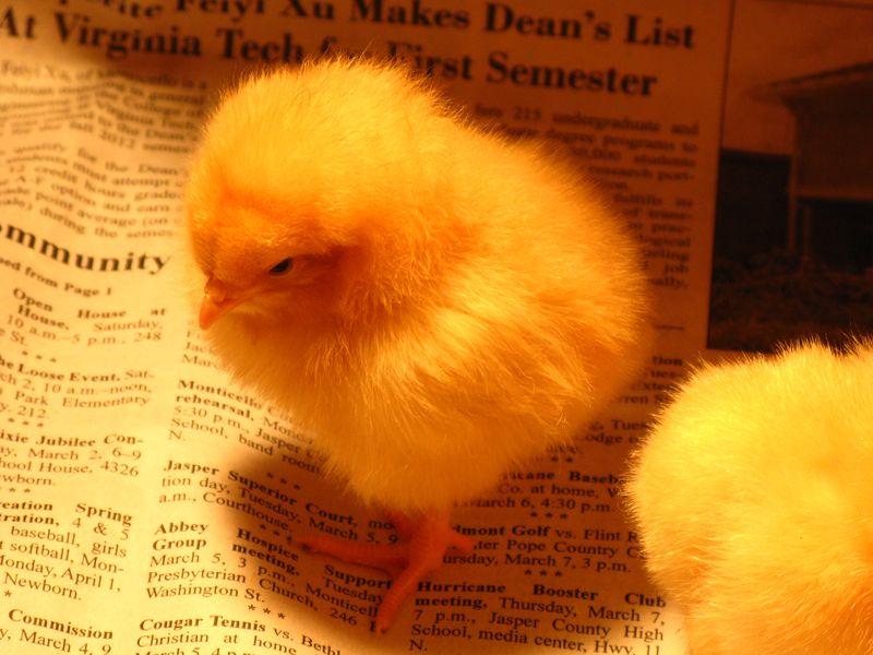 Chicks2013 001