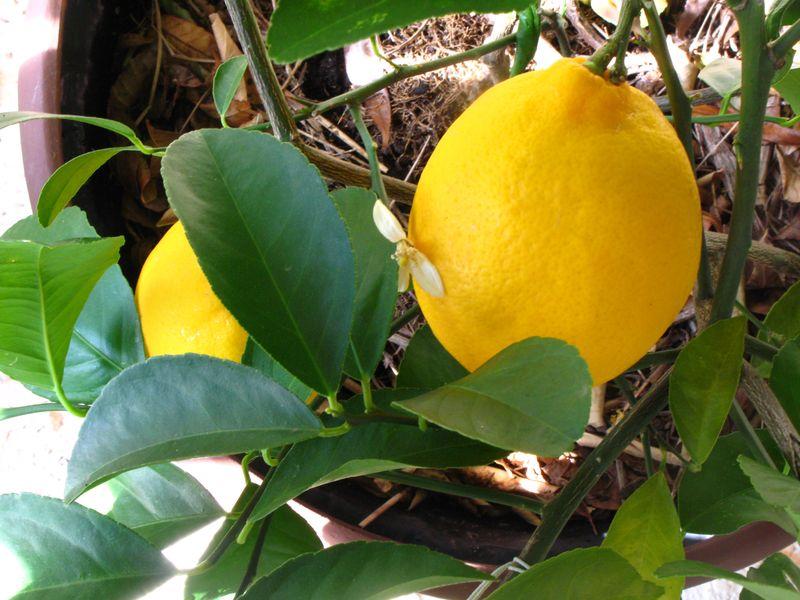 Lemon pudding cakes 014
